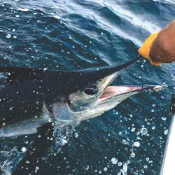 Cool picture of a marlin being released in Ocean City, Maryland on Over Board Sportfishing.