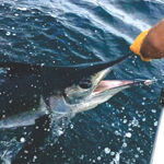 picture of a marlin being released in Ocean City, Maryland.